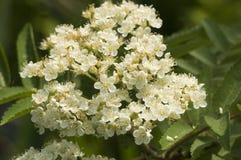 European Rowan, Wilde lijsterbes, Sorbus aucuparia. European Rowan flowers, Wilde lijsterbes bloemen royalty free stock images