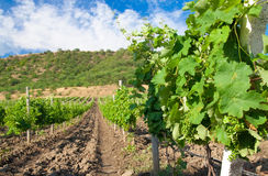 European rows of vineyard Royalty Free Stock Image