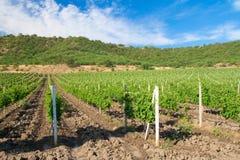 European rows of vineyard Stock Photo