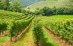 European rows of vineyard Stock Images