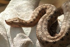 European sand viper on leather glove Royalty Free Stock Photography