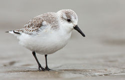 European Sanderling (Calidris alba) bird Royalty Free Stock Photos
