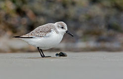 European Sanderling (Calidris alba) bird Stock Photography