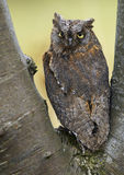 European Scops Owl (Otus scops Stock Images