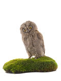 European scops owl Royalty Free Stock Image