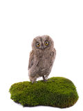 European scops owl Royalty Free Stock Photo