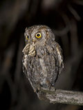 European scops owl. The scops owl is the smallest owl in Spain. During the breeding season hunting many insects to take to the nest. Sometimes breeding nest Stock Image
