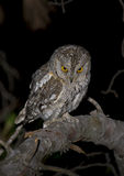 European scops owl. The scops owl is the smallest owl in Spain. During the breeding season hunting many insects to take to the nest. Sometimes breeding nest Royalty Free Stock Photo