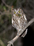 European scops owl. The scops owl is the smallest owl in Spain. During the breeding season hunting many insects to take to the nest. Sometimes breeding nest Royalty Free Stock Image