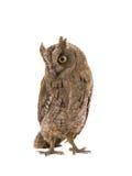 European scops owl Royalty Free Stock Images