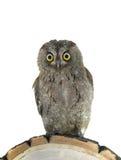 European scops owl Royalty Free Stock Photo