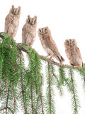 European scops owls Royalty Free Stock Photography