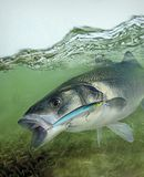 European sea bass hooked on Rapala Max Rap lure. European sea bass can reach sizes of up to 1 m in length and 12 kg in weight, though the most common size is royalty free stock photos