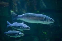 European seabass (Dicentrarchus labrax) Royalty Free Stock Image