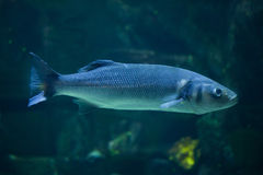 European seabass Dicentrarchus labrax Stock Photography