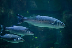 European seabass Dicentrarchus labrax Royalty Free Stock Image