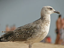 European seagull. European white seagull with brown spots. foreground on the beach and Royalty Free Stock Photo
