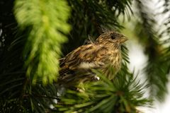 European Serin royalty free stock photography