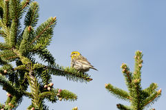 European Serin Stock Photography