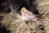 European serin Stock Image