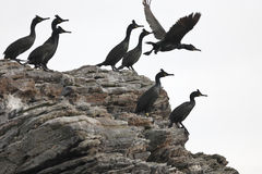 European shag Royalty Free Stock Photography