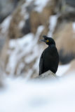 European Shag Royalty Free Stock Photos