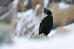 European Shag Stock Images