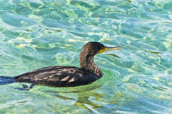 European shag bird, close relative to cormorant, near sandy beach at summer morning Royalty Free Stock Image