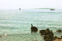 European shag bird on the stone in the sea Stock Photography