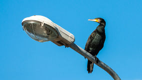 European Shag Royalty Free Stock Images