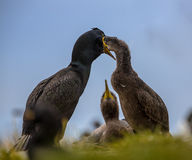 European shag feeding young on nest Stock Image