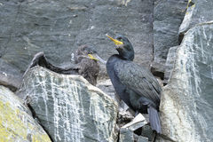 European shag, phalacrocorax aristotelis Royalty Free Stock Photos