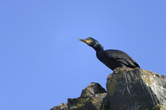 European shag, phalacrocorax aristotelis Stock Image