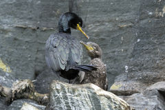 European shag, phalacrocorax aristotelis Royalty Free Stock Photography