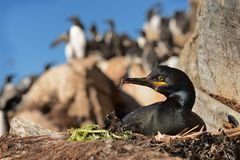 European Shag - Phalacrocorax aristotelis is a species of cormorant. It breeds around the rocky coasts of western and southern. Europe, southwest Asia and north stock photo