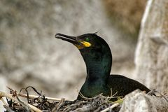 European Shag - Phalacrocorax aristotelis is a species of cormorant. It breeds around the rocky coasts of western and southern. Europe, southwest Asia and north royalty free stock photo