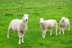 European sheep Royalty Free Stock Images