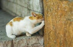 European short-hair cat calling hiding mouse out to honest duel. Young European short-hair cat calling hiding mouse out to honest duel Royalty Free Stock Photography