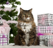 European Shorthair, 11 years old, sitting Stock Photography
