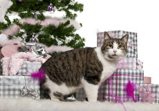 European Shorthair, 3 years old, with Christmas Royalty Free Stock Image