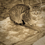 European Shorthair Stock Photography