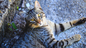 The European shorthair, also called the European or Celtic shorthair, is a breed originating in Europe. Royalty Free Stock Photo