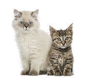 European shorthair and british shorthair kitten Royalty Free Stock Images