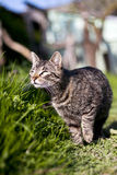 European Shorthair  cat Stock Photography