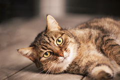 European shorthair cat Royalty Free Stock Photo