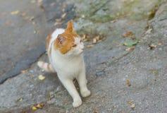 European shorthair cat Stock Photo