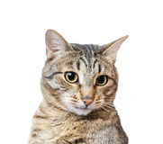 European Shorthair cat Stock Photos