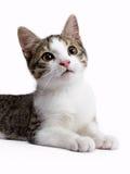 European shorthair cat laying down Royalty Free Stock Photo