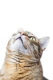 European Shorthair cat looking up Royalty Free Stock Photo
