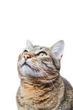 European Shorthair cat looking up Stock Photography